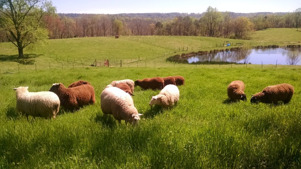 sheep in pasture dayspring dairy alabama