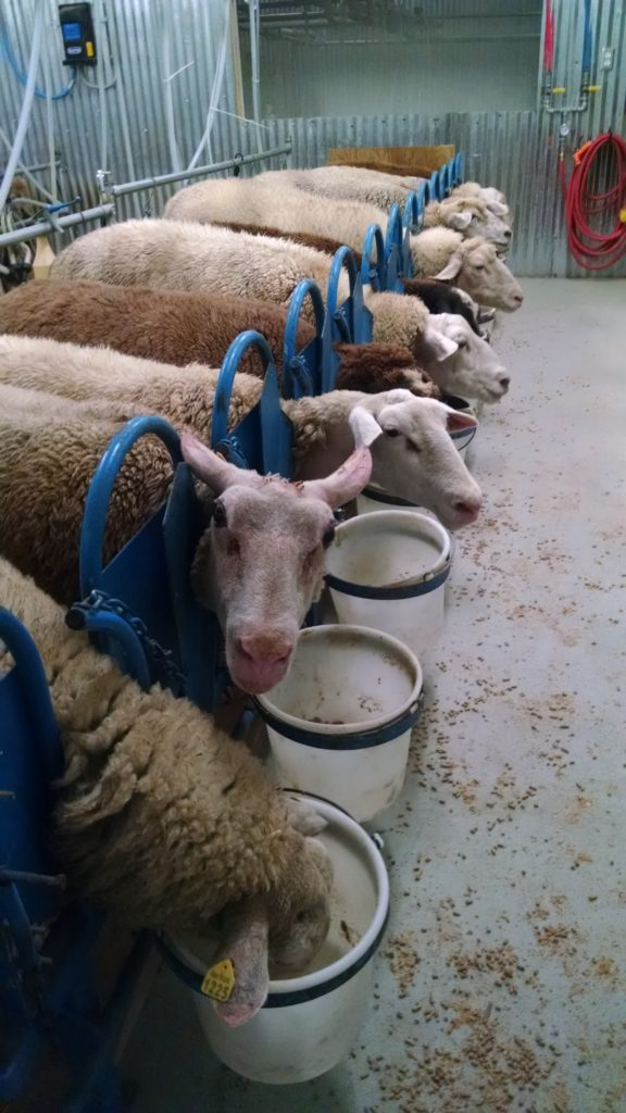 sheep in milking stations dayspring dairy alabama