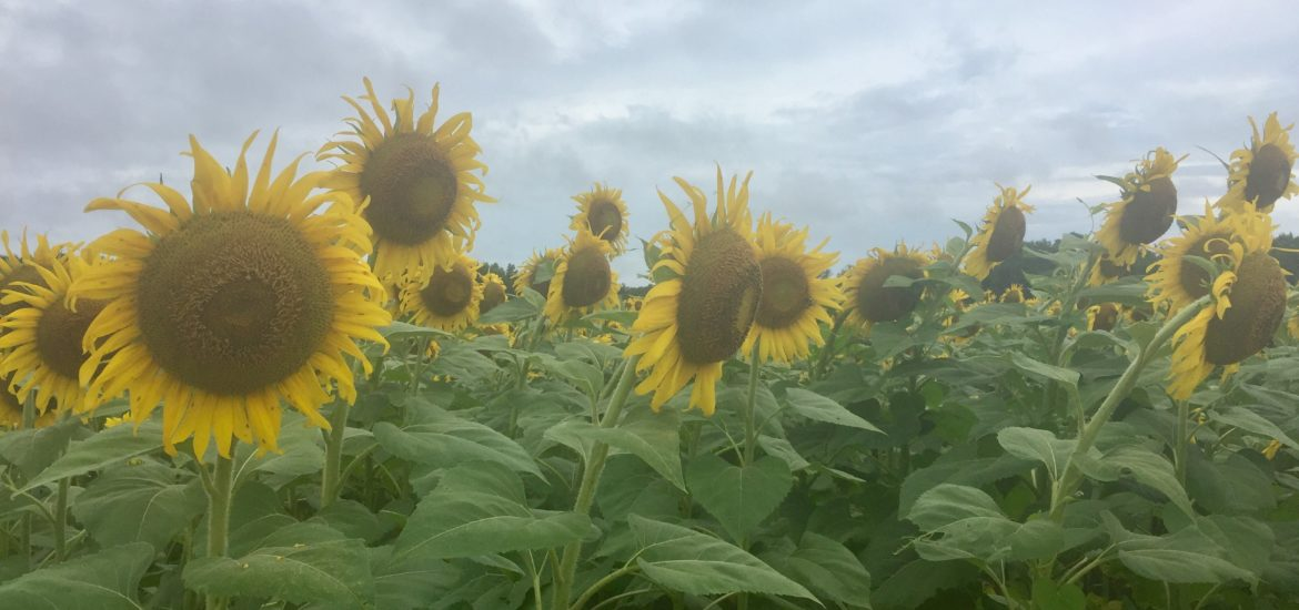 Sunflower Field, Alabama