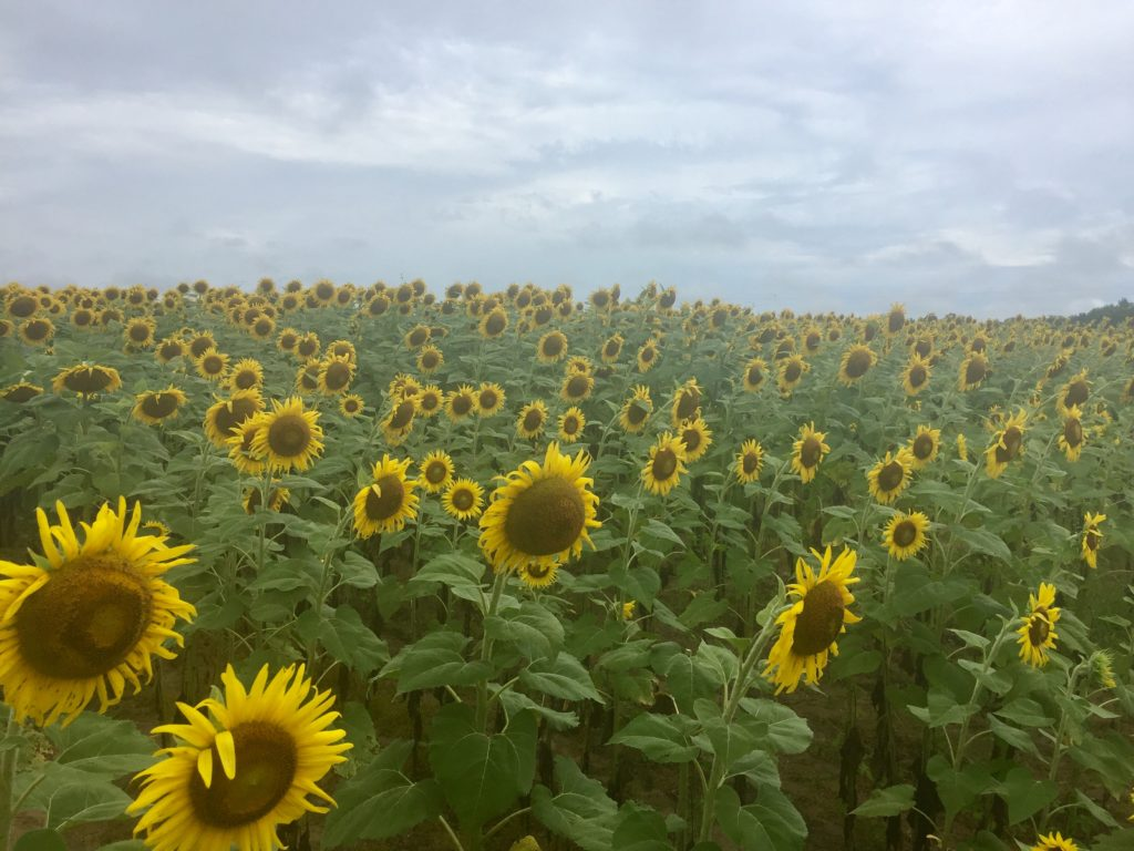 sunflower field alabama