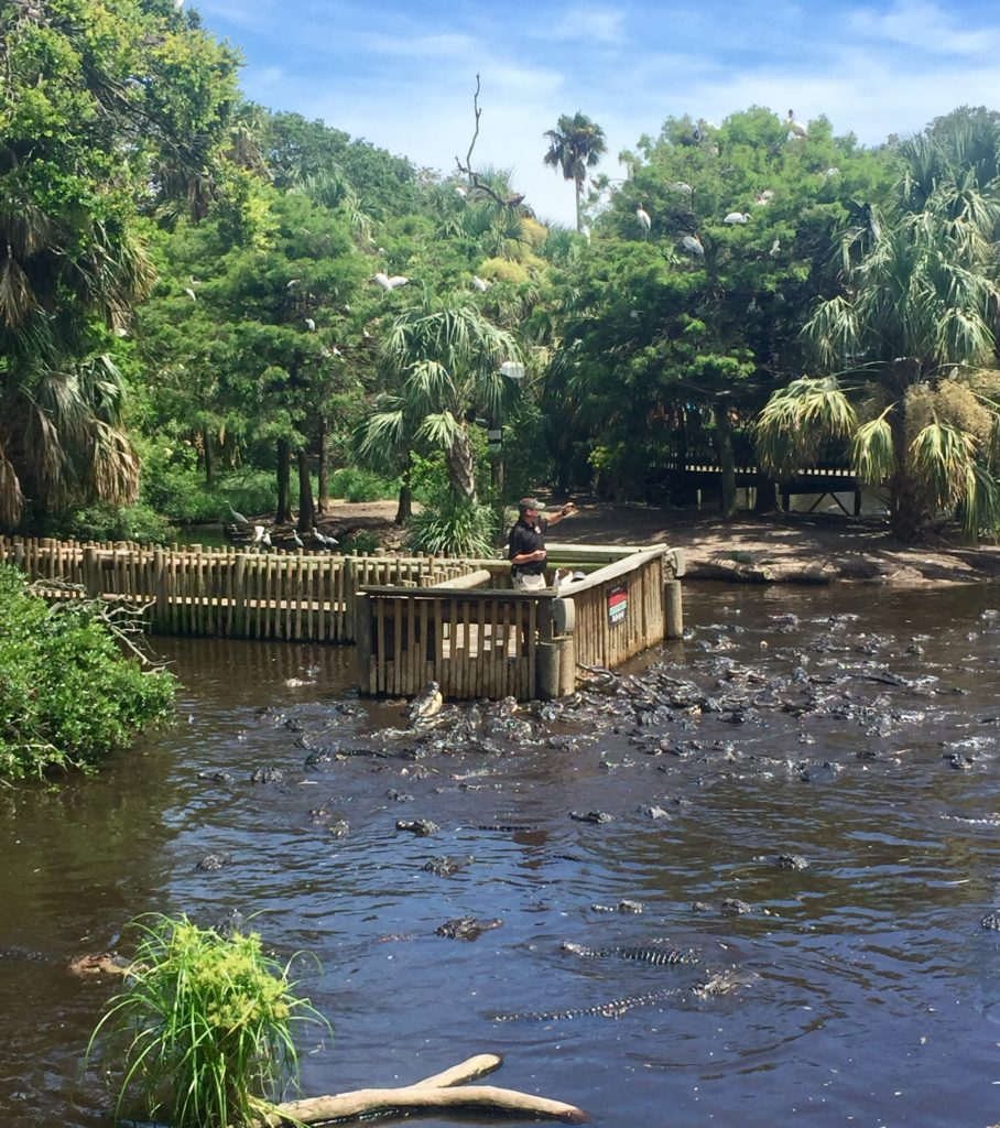 Alligators feeding Alligator Park St Augustine