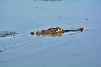 Alligator in Water on airboat adventure alabama
